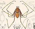 Scytodes longipes (Arachnida. Araneidea and Opiliones II).jpg