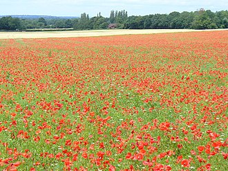 West Horsley - The Sheepleas features this poppy field
