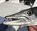 Seabase bahamas - baracuda fishing - 02.jpg
