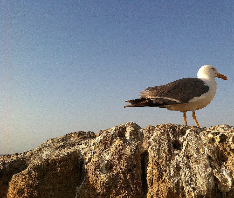 Seagull Essaouira