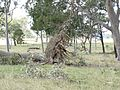 Seaham trees down9 - Flickr - Macleay Grass Man.jpg