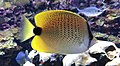 Seattle Aquarium 20161219 Milletseed butterflyfish 02.jpg