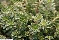 Sedum floriferum Weihenstephaner Gold 1zz.jpg