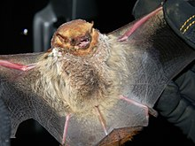 Seminole Bat (7351768292).jpg
