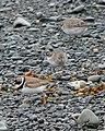 Semipalmated Plovers (Charadrius semipalmatus) - Witless Bay, Newfoundland 2019-08-09 (02).jpg