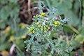 Senecio vulgaris 107823255.jpg