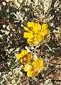 Senna artemisioides spp helmsii flower.jpg