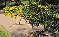 Senna siamea leaves and flowers 04.jpg