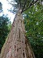 Sequoia au domaine de kerguéhennec - panoramio (1).jpg