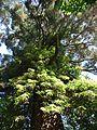 Sequoiadendron giganteum 2.jpg
