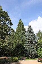 Sequoiadendron giganteum Oliwa