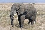 Serengeti Elefantenbulle.jpg