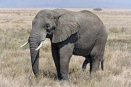 Serengeti Elefantenbulle