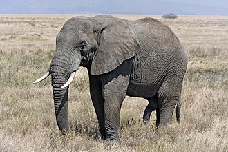 Epitheria - African bush elephant (Afrotheria)