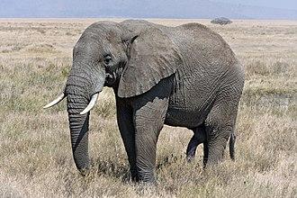 Atlantogenata - African bush elephant (Afrotheria)