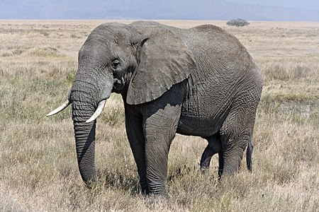 Solitary male African Bush Elephant