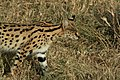Serengeti Serval.jpg