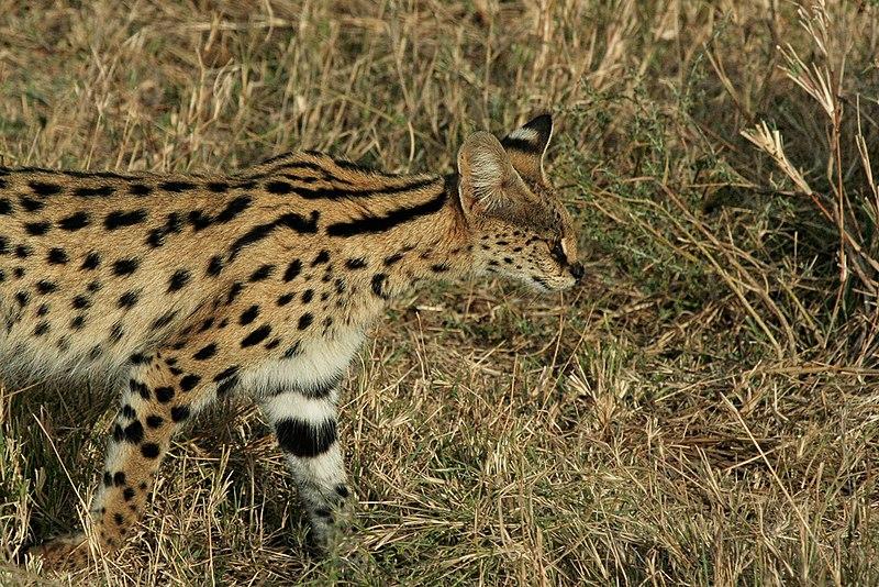 File:Serengeti Serval.jpg