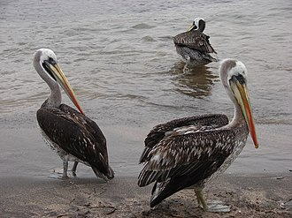 Peruvian pelican - Image: Several Peruvian pelicans in Pan de Azucar National Park in Chile September 2009
