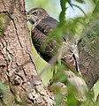 Shikra (Accipiter badius)- Immature in Hyderabad W IMG 7715.jpg