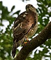 Shikra (Accipiter badius) in Hyderabad W IMG 8971.jpg