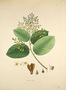 Shorea robusta Roxburgh 1819.jpg
