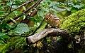 Siberian Chipmunk (Tamias sibiricus), Parc du Rouge-Cloître, Forêt de Soignes, Brussels (21376750459).jpg