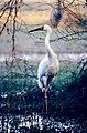 Siberian Crane (Grus leucogeranus) (20242861318).jpg