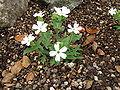 Silene sachalinensis1.jpg