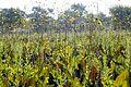 Silphium terebinthinaceum PRAIRIE DOCK (5146944521) (2).jpg
