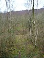 Silver Birches, Philliswood Down - geograph.org.uk - 341681.jpg