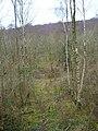 Silver Birches, Philliswood Down - geograph.org.uk - 341681.jpg