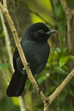 Slate-coloured Boubou - Kenya (19830770839).jpg