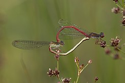 Small red damselflies (Ceriagrion tenellum) mating female typica.jpg
