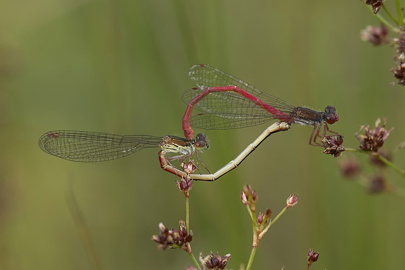 File:Small red damselflies (Ceriagrion tenellum) mating female typica.jpg
