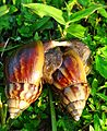 Snails Mating.jpg
