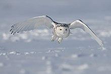 Des parades de la chouette dans CHOUETTE ET HIBOU 220px-Snowy-Owl.1