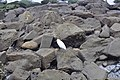 Snowy egret at La Jolla Cave area - 08.jpg