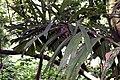 Socratea exorrhiza 9zz.jpg