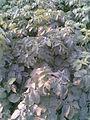 Solanales - Solanum tuberosum - 2011.07.11.jpg