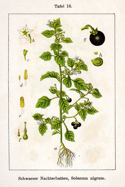 Растения паслен черный