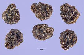 Solanum rostratum Samen.jpg