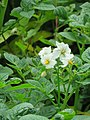 Solanum tuberosum -potato on way from Gangria to Govindghat at Valley of Flowers National Park - during LGFC - VOF 2019 (6).jpg