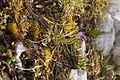Soldanella alpina PID1867-2.jpg