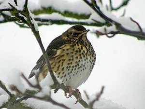 English: Song thrush (Turdus philomelos) The s...