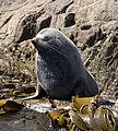 Southern Fur Seal.jpg