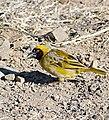 Southern Masked Weaver (Ploceus velatus) (31764194034).jpg