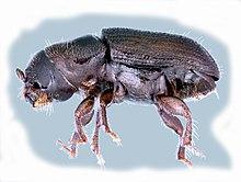 Southern Pine Beetle (Dendroctonus frontalis).jpg