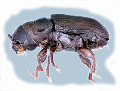 Dendroctonus frontalis - Wikipedia, la enciclopedia libre