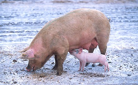 Denmark is a leading producer of pork, and the largest exporter of pork products in the EU. Sow with piglet.jpg